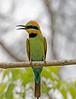 Rainbow Bee Eater (7)