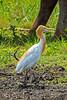 Cattle Egret (2)