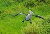 Australian Pelican (5)