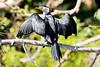 Little Pied Cormorant (3)