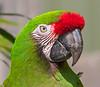 Macaw (7)