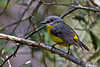 Eastern Yellow Robin (3)
