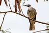 Noisy Friarbird (3)