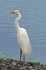 Intermediate Egret - Breeding Plumage (1)