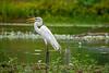 Intermediate Egret (1)