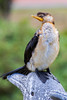 Little Pied Cormorant (2)