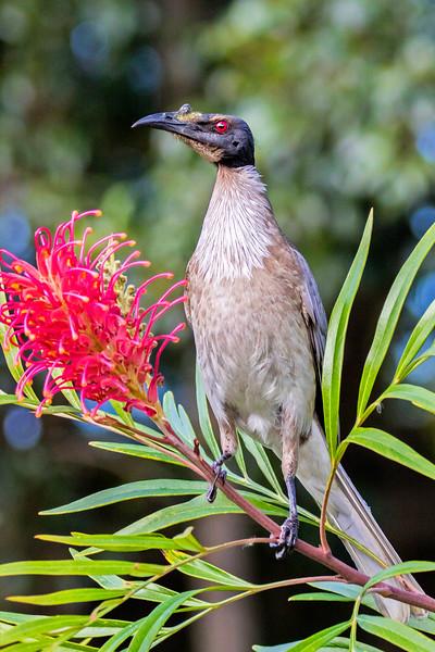 Noisy Friarbird (2)