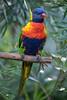 Rainbow Lorikeet (2)
