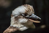 Sleeping Kookaburra