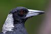 Australian Magpie (4)