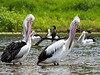 Parallel Pelicans (1)