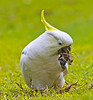Sulphur Crested Cockatoo (4)