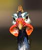 Helmeted Guineafowl (3)