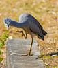 White Faced Heron (14)