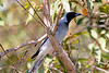 Black Faced Cuckoo Shrike
