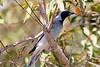 Black Faced Cuckoo Shrike