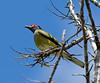 Australasian Figbird (2)
