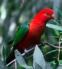 Australian king parrot (3)