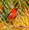 Scarlet Honeyeater (5)