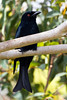 Spangled Drongo (3)