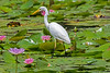 Intermediate Egret (12)