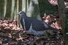 Wonga Pigeon (2)
