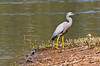White Faced Heron (10)