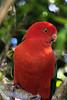 King Parrot (1)