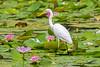 Intermediate Egret (7)