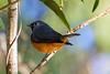 Black Faced Monarch  Flycatcher (1)