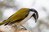 Juvenile Blue-faced Honeyeater