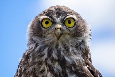 Juvenile Barking Owl (4)