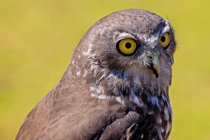 Barking owl (3)