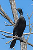 Little Black Cormorant (2)