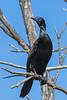 Little Black Cormorant (2)