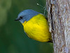 Eastern Yellow Robin (4)