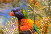 Rainbow Lorikeet (3)