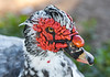 Muscovy Duck Male