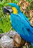 Macaw (4)