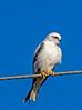 Black-shouldered Kite (2)