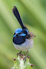 Superb Fairy Wren male (4)