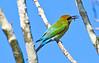 Rainbow Bee Eater (3)