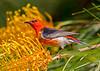 Scarlet Honeyeater (8)