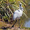 Royal Spoonbill (3)