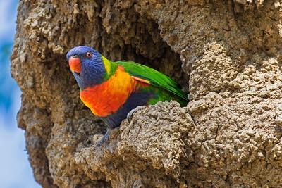 Rainbow Lorikeet nesting in termite mound (1)
