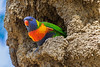 Rainbow Lorikeet nesting in termite mound (1)