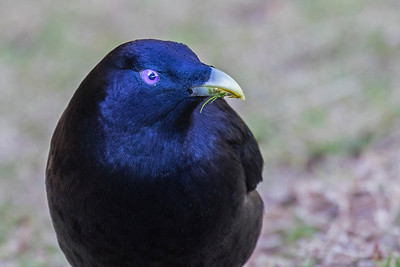 Satin Bower Bird (1)
