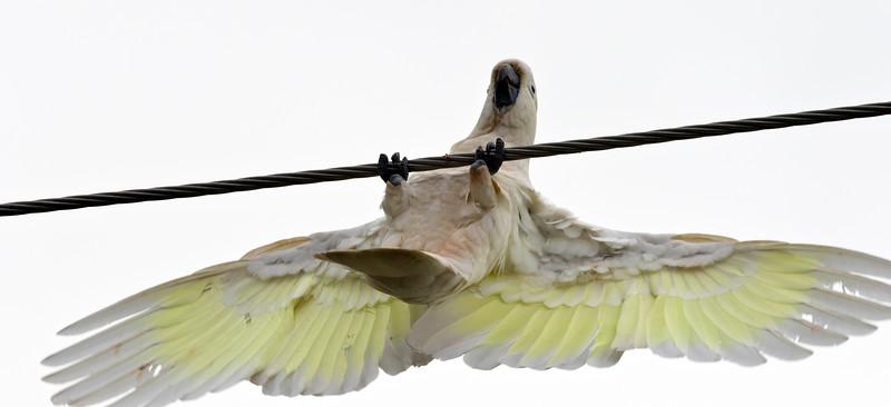 Sulphur Crested Cockatoo (3)