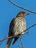 Australasian Figbird Juvenile (2)