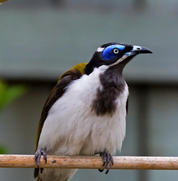 Blue-Eyed Honeyeater